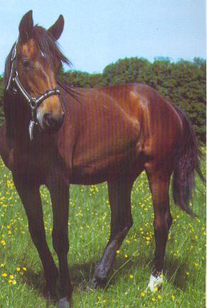 croisé welsh avec zébrures cheval